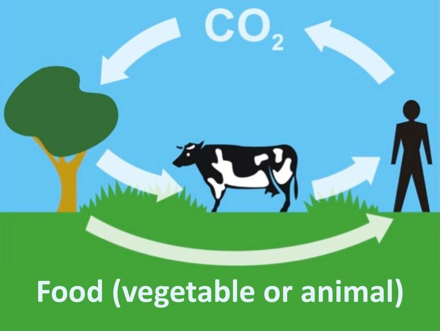 CO2-Kreislauf mit Atmung und Nahrung.jpg
